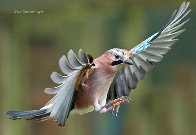 British Bird Photography: David Cookson Images