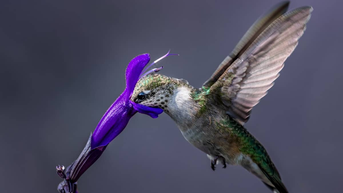 When to Put Out Hummingbird Feeders: US Calendar 2021
